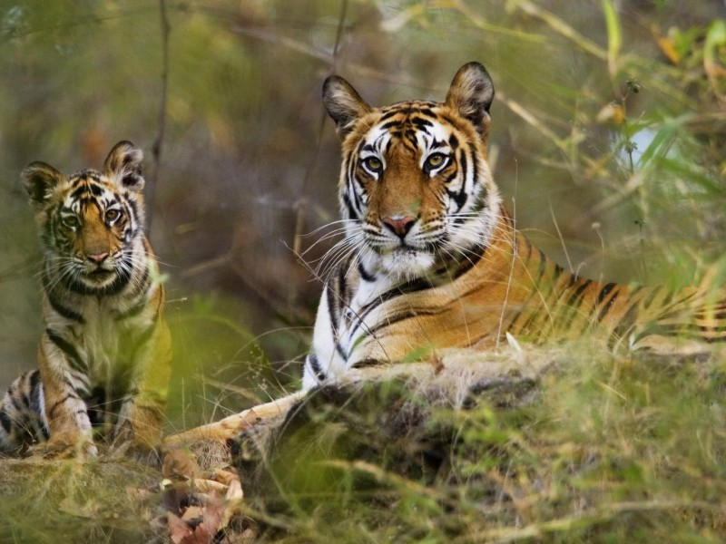 Bengal tigress and cub, Bandhavgarh N. P.