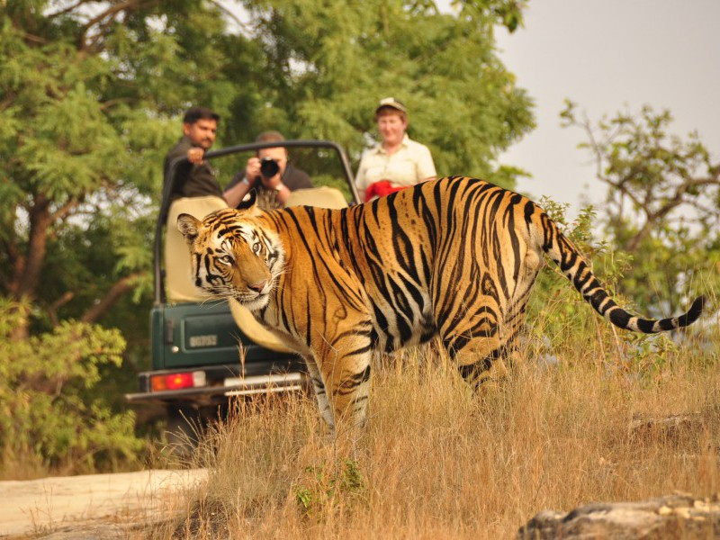 Tiger Sighting, Bandhavgarh National Park