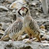 Chukar Pair, Markha Valley